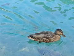 Duck in blue water - stock photo