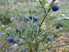 Wild blueberries Stock Photos