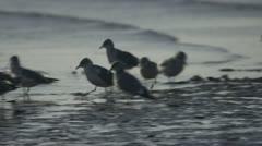 Sea Gulls Hunting and Pecking in Shore Waves Stock Footage