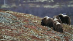 Wildlife: Muskox , Dovrefjell, Norway Stock Footage