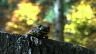 Stock Video Footage of Tailed amphibian, fire salamander