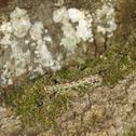 Pine hawk-moth caterpillar Stock Photos
