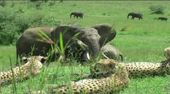 Cheetah Coalition with Elephant Herd - stock footage