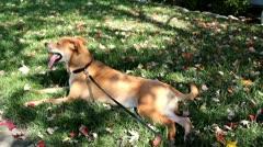 Peascefull Canine - stock footage