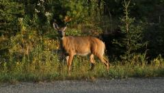 Deer sighting from Car. Two shots. - stock footage