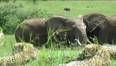 Cheetah coalition with Elephants Stock Footage