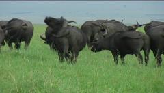 Buffalo herd grazing - stock footage