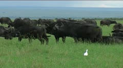 Buffalo herd grazing Stock Footage