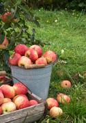 apple basket - stock photo
