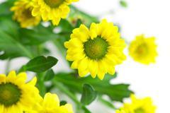 yellow daisies isolated on white - stock photo