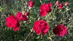 Autumn  roses in flower bed and wind Stock Footage