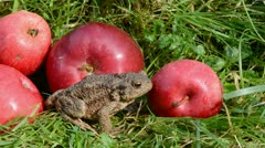 Big common toad (Bufo bufo) and red apples on grass Stock Footage
