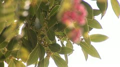 Pink pepper a Stock Footage