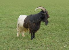 Valais blackneck goat Stock Photos