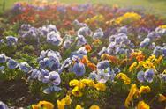 Beautiful pansies in a city garden Stock Photos
