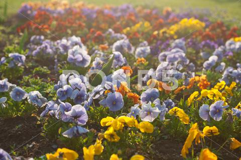 Stock photo of beautiful pansies in a city garden