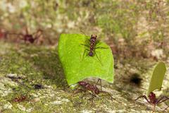 Leaf cutter ants (atta sp.) there are small workers termed minims riding on t Stock Photos