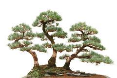 three pine bonsai trees - stock photo