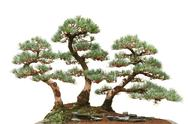 Stock Photo of three pine bonsai trees