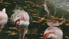 Flamingo drinking water Stock Footage