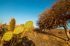 Prickly Pear Cactus - stock photo