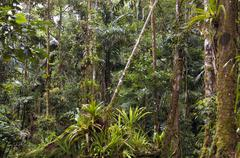 Stock Photo of amazonian rainforest in ecuador with many bromeliads in foreground