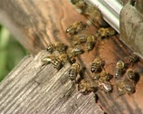 Bees 04 Stock Footage
