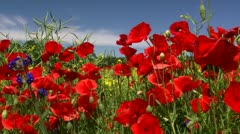 Beautiful Poppy Field in Mecklenburg-Western Pomerania - Northern Germany. Stock Footage