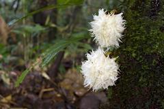 rainforest tree from the ecuadorian amazon displaying cauliflory (fruit growi - stock photo