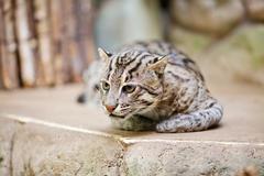 Beautiful wild cat fishing in zoo Stock Photos