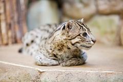 beautiful wild cat fishing in zoo - stock photo