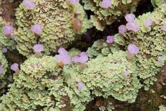 Unusual rainforest lichen with fruiting bodies from ecuador Stock Photos