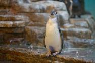 Stock Photo of humboldt penguins at the zoo