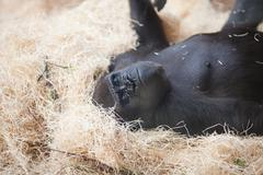 gorilla at the zoo - stock photo