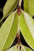 Stock Photo of ants gathering nectar from an extra-floral nectary on a rainforest leaf petio