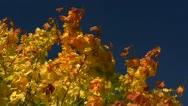Stock Video Footage of Indian Summer in Mecklenburg - Golden Autumn Leaves - Northern Germany