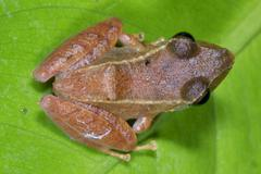 unidentified species of rain frog (pristimantis sp.) from the ecuadorian amaz - stock photo