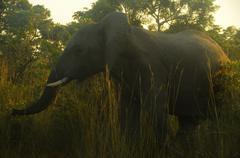 Elephant in sunrise Stock Photos