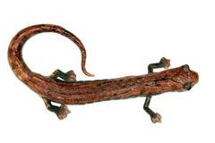 Amazon climbing salamander (bolitoglossa peruviana) Stock Photos