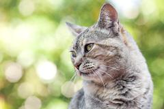 portrait of a striped cat outdoor - stock photo
