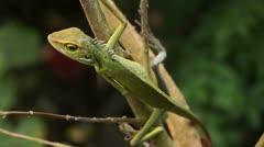 Green iguana, iguana iguana Stock Footage