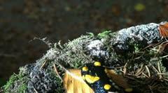 Tailed amphibian, fire salamander - stock footage