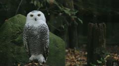White Owl total Stock Footage