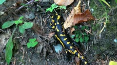 Tailed amphibian, fire salamander Stock Footage