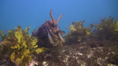 Giant Cuttlefish.mp4 Stock Footage