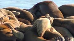 Elephant seals V8 Stock Footage