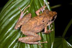 amazonian rain frog (pristimantis sp.) from ecuador - stock photo
