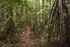 Path running through a grove of stilt rooted palms (iriartea deltoidea) in th Stock Photos