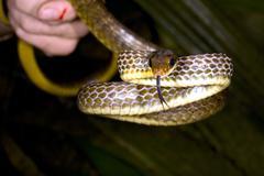 olive whipsnake (chironius fuscus) - stock photo