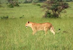 Stock Photo of lion in the african savannah